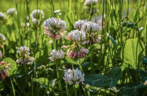 fleur de trèfle abeille