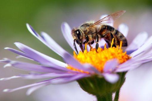 graines pour abeille