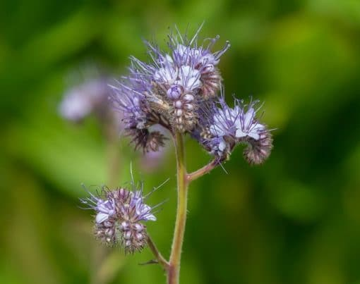 fleur de phacélie abeille