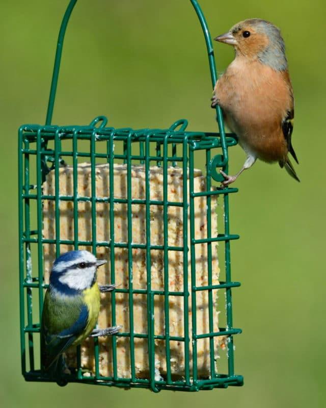 mangeoire pain graisse oiseaux