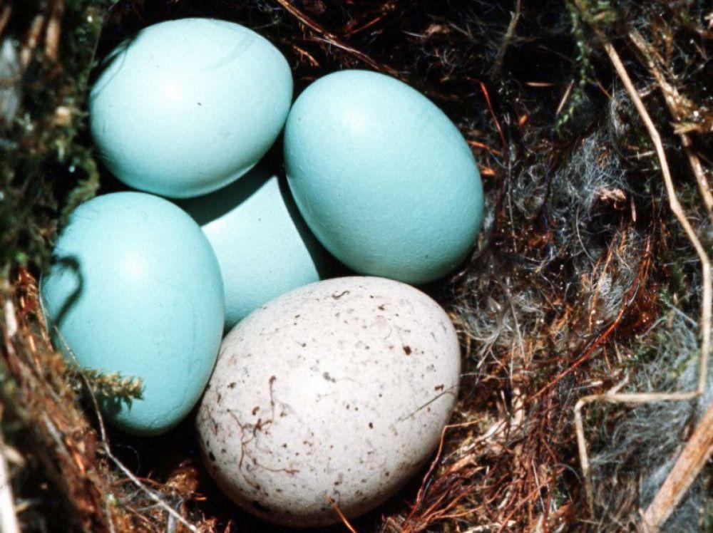 œuf de coucou gris